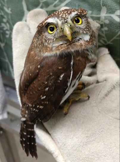 owl_pygmy